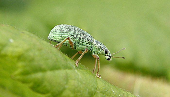 Zeleni listojed